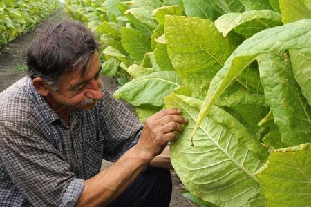tabaco: Farmer mira tabaco en el campo Foto de archivo
