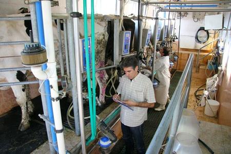 Milking Cows on farm