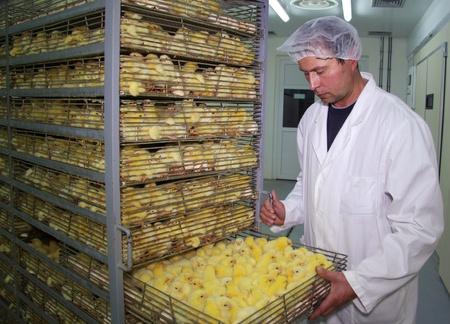 Farmer controla pollo bebé en incubadora