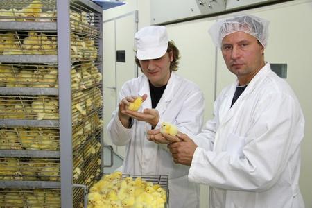 Farmers working in incubator, Baby chicken Imagens