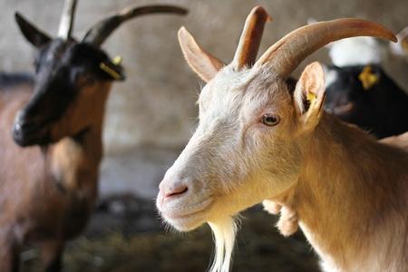 Goat on Farm Stock Photo - 15576260