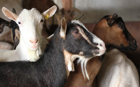 Goat on Farm Stock Photo - 15576246