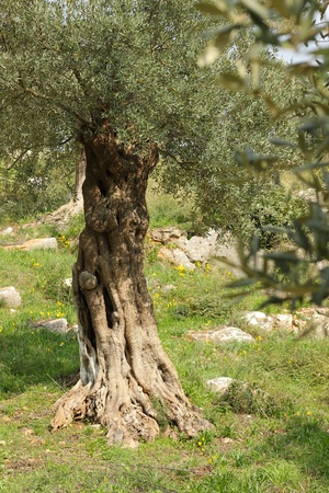 Olive Tree in Greece Imagens