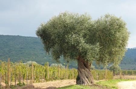 paisaje mediterraneo: Olivo y vi�edo en Grecia Foto de archivo