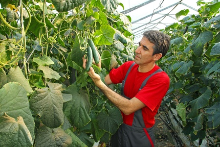 canned: Farmer checking cucumber in a greenhouse