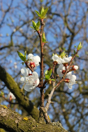 sherry: Spring in the orchard