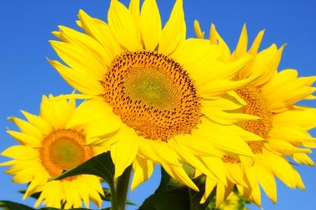 semillas de girasol: Girasoles en un campo, la belleza en la naturaleza