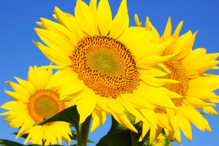 a sunflower: Sunflowers in a field, beauty in nature