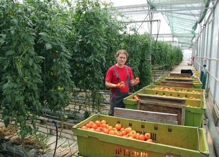 invernadero: Agricultor cosecha de tomate en un invernadero