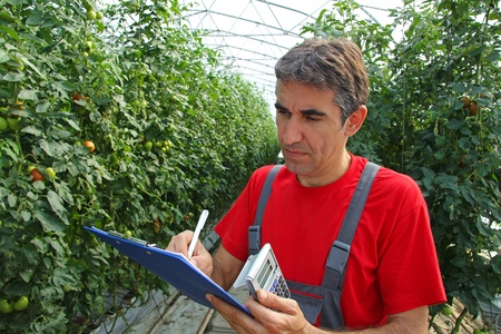 calculated: Farmer in a Greenhouse, calculated production of tomatoes Stock Photo