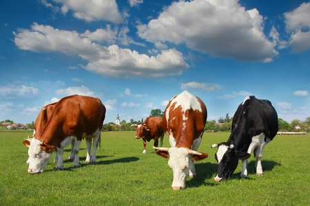 hoofed: Cows grazing on pasture