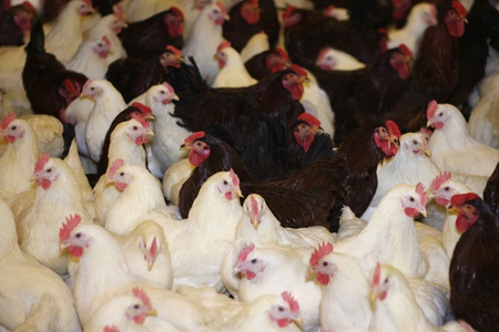 Chicken Farm, poultry production, young roosters and hens photo
