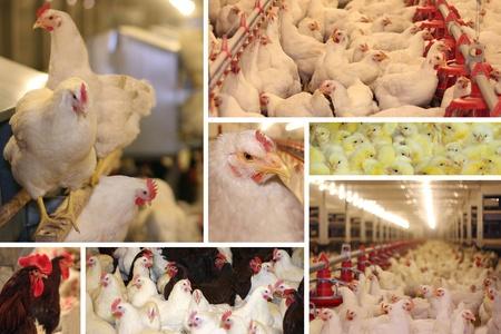 industria alimentaria: Granja de pollo - producci�n multipantalla, aves de corral, pollo beb�, gallinas, gallos