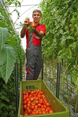 Farmer picking tomato in a greenhouse
