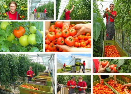 Picking tomatoes in a greenhouse, teamwork