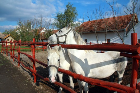 White horses on the farm Stock Photo - 17559973