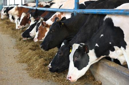 Cows on Farm Banque d'images