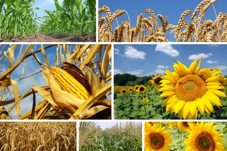Maïs, tarwe en Zonnebloem Collage Stockfoto - 17999097