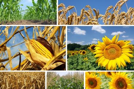 planta de maiz: Maíz, trigo y girasol Collage