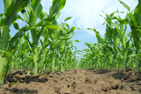 crop  stalks: Corn Field