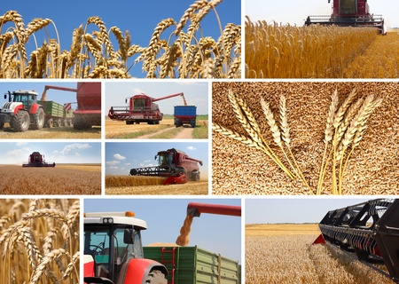 yellow  agriculture: Cosecha de trigo - collage