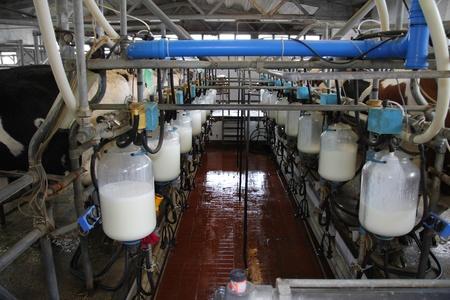 Dairy farm, milking cows Banque d'images