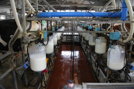 dairy product: Dairy farm, milking cows Stock Photo