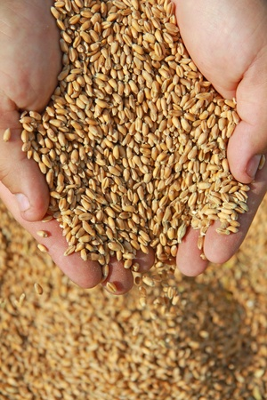 food processing: Wheat in a hand - good harvest Stock Photo