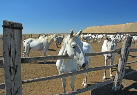 lipizzaner: Horse Farm, Lipizzaner