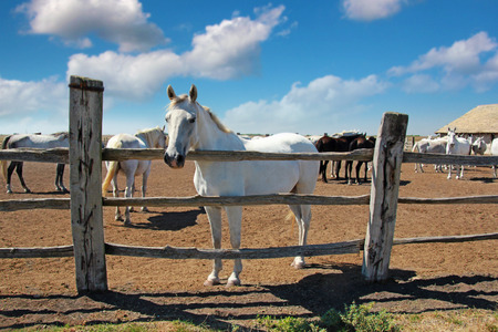 lipizzaner: Herd of Lipizzaner horses at the ranch Stock Photo