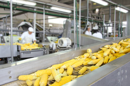 foodâ: Mazorca de maíz en la línea de producción en una industria alimentaria