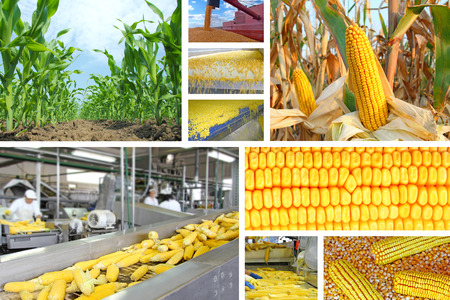 agriculture industry: Corn production, collage