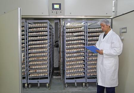 Farmer controls chicken eggs in incubator