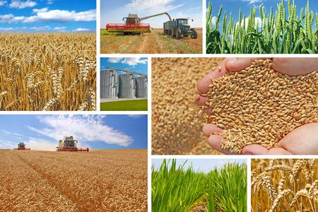 Production of wheat, collage Standard-Bild