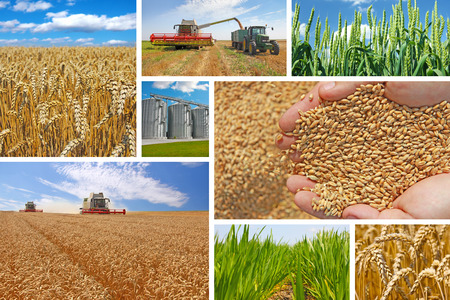 stockroom: Production of wheat, collage Stock Photo