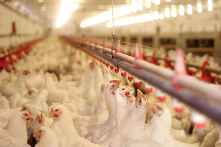 Chicken Farm, eggs and poultry production Imagens