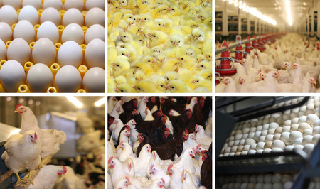 Chicken Farm, eggs and poultry production, collage