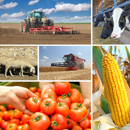 siembra: Agricultura - collage, la producción de alimentos, la mazorca de maíz, la cosecha de trigo, la siembra del tractor, tomate picking, vacas, ovejas Foto de archivo