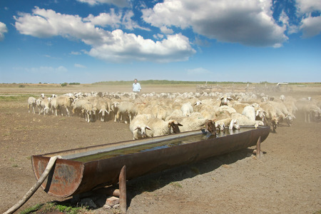 Herd of sheep on the watering place Imagens