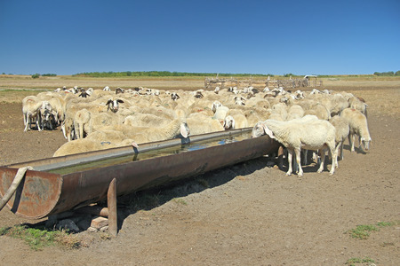 trough: Herd of sheep on the watering place Stock Photo