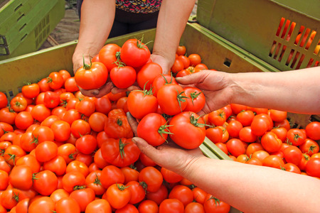 Tomato in womens hands after harvest Archivio Fotografico