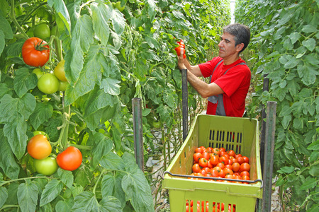Trabajador de granja recogiendo tomate en un invernadero