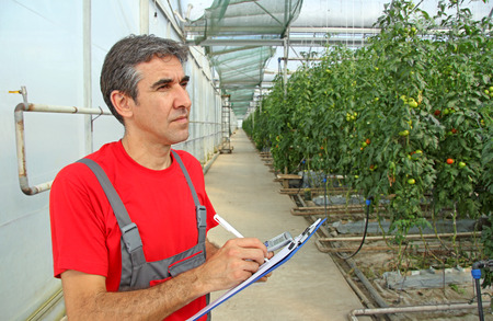 bussines: Farmer in a Greenhouse, calculated production of tomatoes Stock Photo