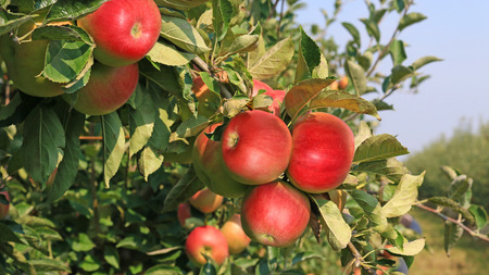 ripeness: Ripe apples in orchard Stock Photo