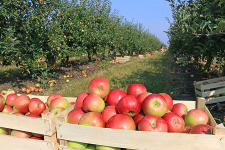 Cart full of apples after picking in orchard