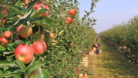landwirtschaft: Äpfel im Obstgarten Lizenzfreie Bilder