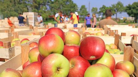 따기 후에 사과가 가득 찬 카트, 농장에서 사과를 분류하는 노동자