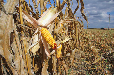 corn fields: Ripe corn in the field is dry and ready for harvest