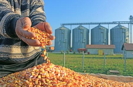 planta de maiz: Grano de maíz en una mano después de la buena cosecha del agricultor exitoso, en un fondo del silo agrícola