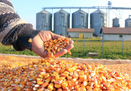 agriculture industrial: Corn grain in a hand after good harvest of successful farmer, in a background agricultural silo